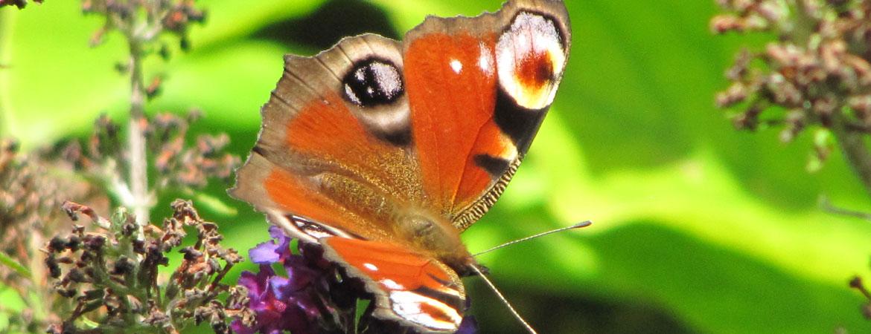 vlinder3